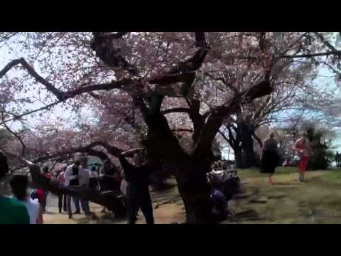 Tidal Basin Cherry Blossoms 2013