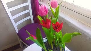 Lale soğanı nasıl çoğalır? Lale çiçeği bakımı nasıl yapılır? How to grow tulip flower?