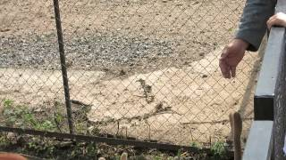 Олень в минском зоопарке.(, 2014-07-23T16:20:25.000Z)