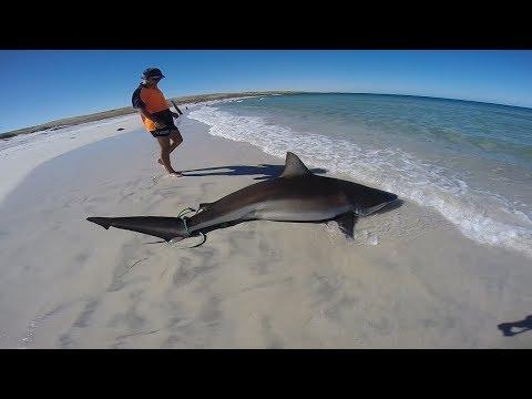 Huge Bronze Whaler Shark Caught Off The Beach
