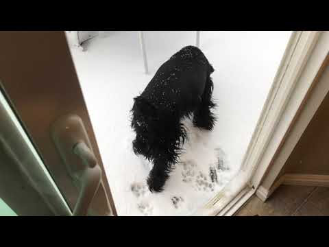 Standard Schnauzer Seeing Snow For The First Time