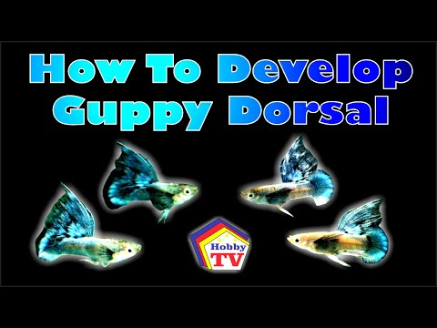 How To Develop Guppy Fish Dorsal Fins!