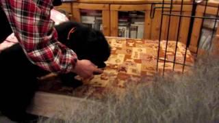ニューファンドランドの3代目パピーがやってきました。 先住犬のオール...