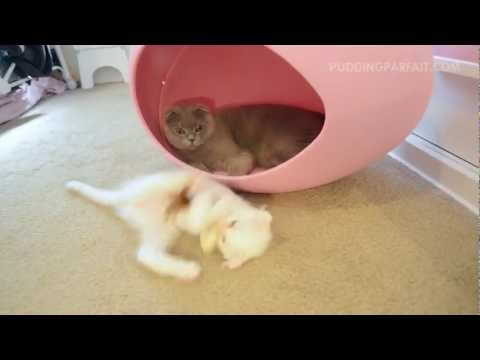 Scottish Fold Gray Cat and White Kitten Play in Pink Egg