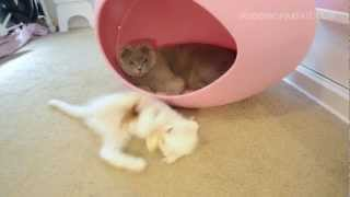 Scottish Fold Gray Cat and White Kitten Play in Pink Egg Thumbnail