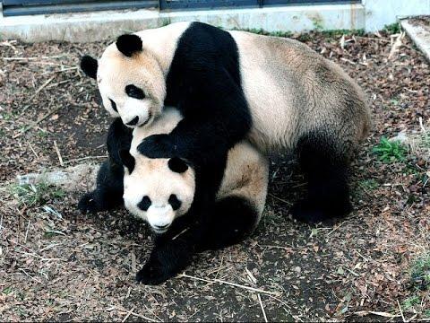 Porno Panda