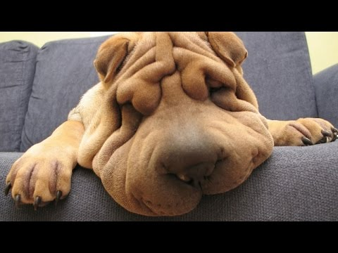 Funny sleepy dogs - Funny animal compilation