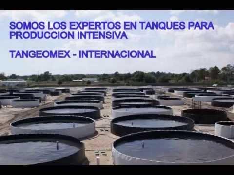 Producci n intensiva de tilapia en sinaloa doovi for Construccion de estanques circulares cria y engorda de mojarra tilapia