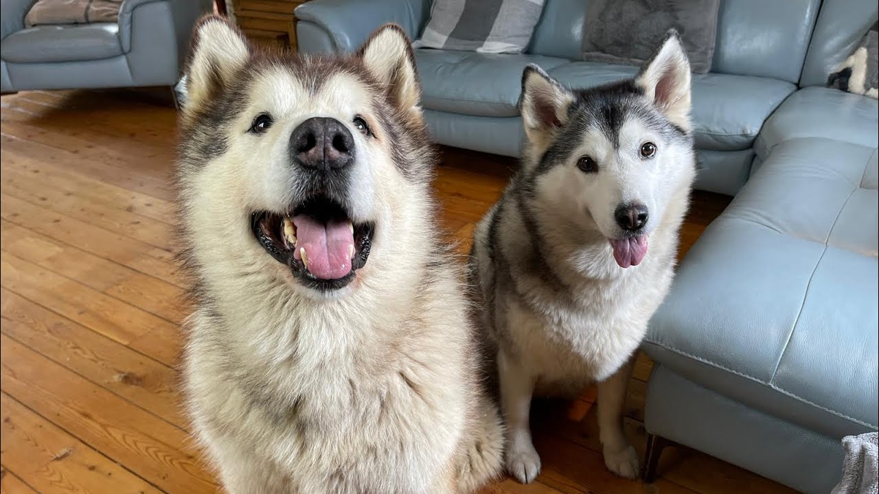 When Philly Met Millie The Love Story! Alaskan Malamute And Husky!