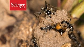 Ants rescue injured comrades from termite battles