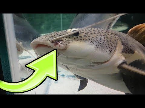 KÖPEK BALIĞI KEDİ BALIĞININ AĞZINI PARÇALADI !!! - Canavar Balıklar