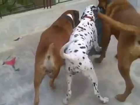 South African Boerboel in India ( Prakash Kennel ) Cont No. 09457267822