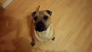 Cutest Opri-pei (sharpei Pug Mix) - Funny Dog Overall