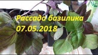 73. Рассада базилика 07.05.2018