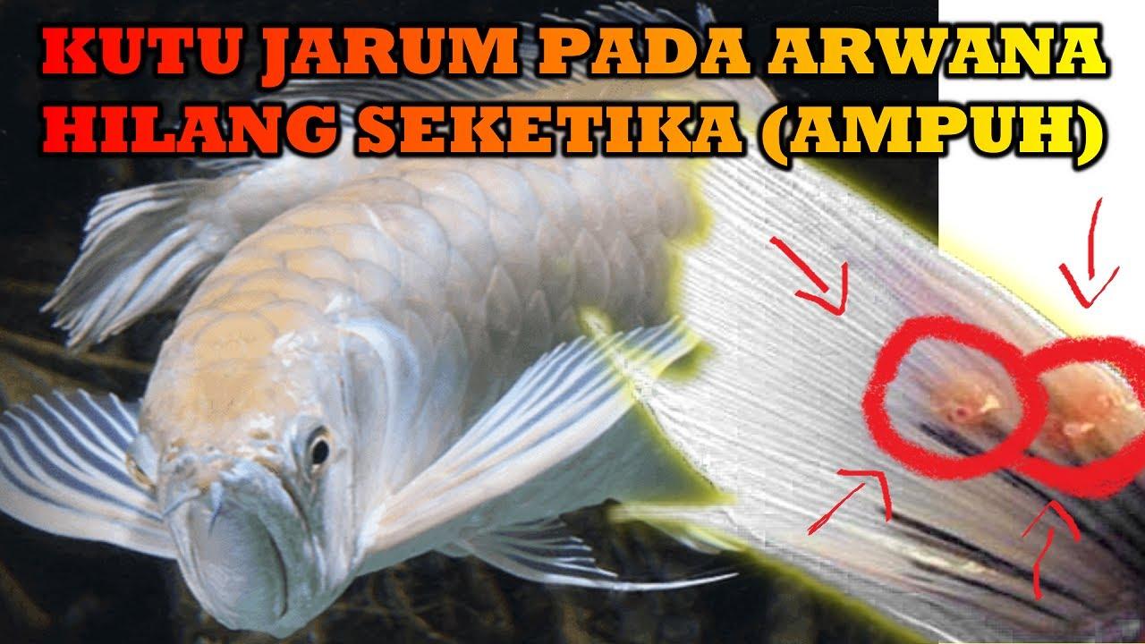 Cara Mengobati Ikan Koi Jamuran Dengan Cara Tradisional Ampuh Youtube