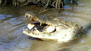 American Crocodile Eats Pig Head at ACES