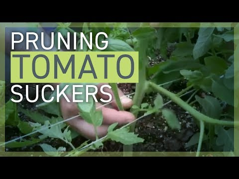 pruning:-removing-tomato-suckers