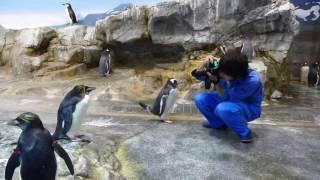 スタッフに向けて一生懸命挨拶するジェンツーペンギン。気づいてもらえ...