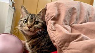 1歳になったのに寝るときは必ず飼い主についていく甘えん坊猫
