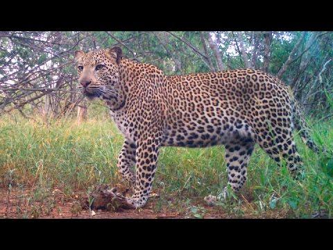 66d5adf19d Best leopard videos! - HWE Camera Trap Clips - YouTube