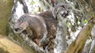 Bobcat In Buckeye Tree - Wild Cats 2015 - Wild Animals