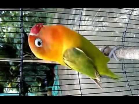 Download Lagu SUARA BURUNG LOVEBIRD NGEKEK PANJANG