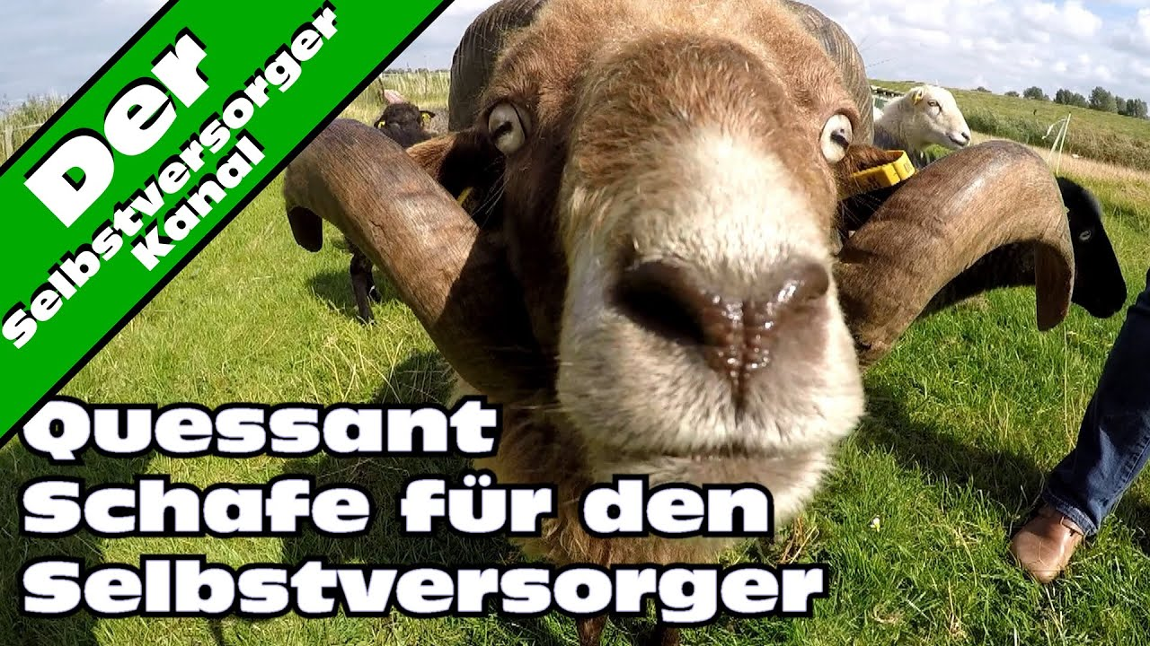 Alles Uber Ouessantschafe Youtube