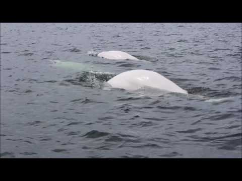 Churchill whales