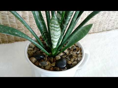 Well Cared for Young Snake Plant--For Sale in the Phoenix, Arizona Area