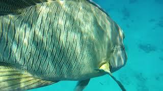 Рыба Наполеон в бухте Sharks bay The Napoleon fish Sharm El Sheikh Red sea Egypt Snorkeling