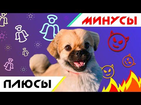 Вопрос: Что вы можете сказать о породе собак Пекинес?