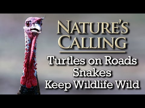 Nature's Calling - Turtles Crossing Roads, Snakes, Keep Wildlife Wild (May 2018)