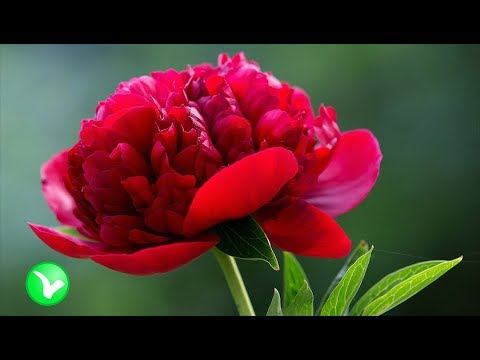 ПИОН – не просто цветок. Польза и вред пиона.