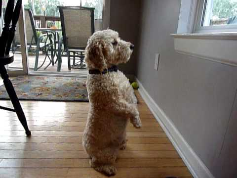 Cockapoo Hunting Squirrel Youtube