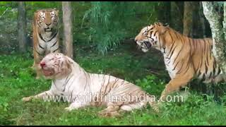 Bengal Tigers Vs. White Tigers : Fight For Supremacy