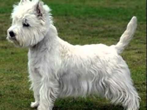 West Highland White Terrier...ou simplesmente Westie!!! - YouTube