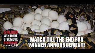 Giant Python Lays Massive Clutch of Huge Eggs for a Big Win