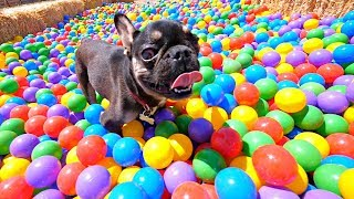 Homeless French Bulldog Giant Ball Pit Dreams will Leave you Crying (Amazing Reaction)