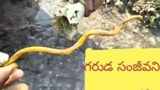 Garuda sanjeevani water test || Sanjivani water root test