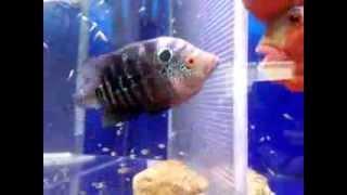 花ちゃん♂&キレ嫁♀ 稚魚孵化後22日目 稚魚は順調に育っています。