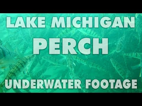 Underwater Video of Perch under Navy Pier in Lake Michigan