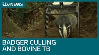 Badger culling only has