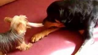 Rottweiler Vs Yorkshire Terrier. Tug Of War