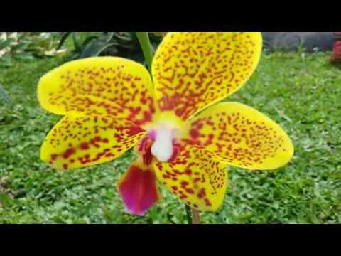 first bloom phalaenopsis gorgeous orchid bright yellow flower