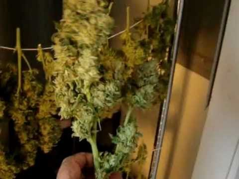 "HARVEST Day 89 Dutch Passion ""Think Different"" Legal ..."