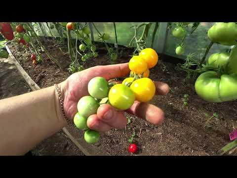 Обзор томатов. Черри   томатов_2020   маленькие   выращиван   помидоры   томатов   теплице   томаты   черри   сорта   обзор
