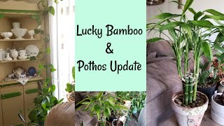 Lucky Bamboo and Pothos Update