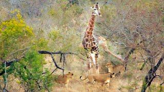 Giraffe Kicks Lions To Defend Itself