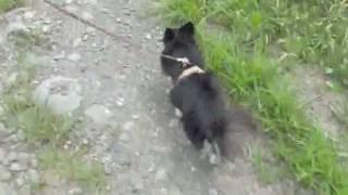 ひどい引張りが劇改善されたチワワちゃんのお散歩練習3回目。 もう引っ...