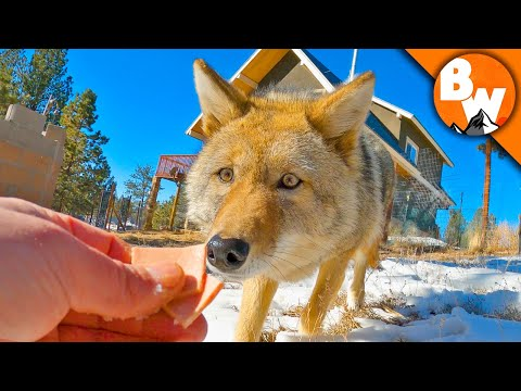 Coyote FINALLY Meets A Coyote!